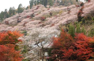 Tokyo - Núi Phú Sĩ - Obara - Kyoto - Arashiyama - Kobe - Osaka  (Ngắm Hoa Anh Đào Nghịch Mùa, Tour Tiêu Chuẩn) - Thu Hẹn Ước